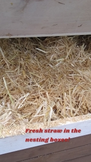 Fresh straw in the nesting boxes!
