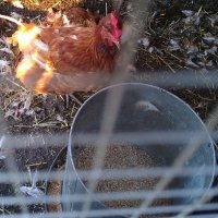 🐓 Write31 🌻 Chickens 🥰 day 13