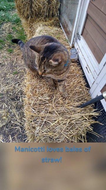 Manicotti loves bales of straw!