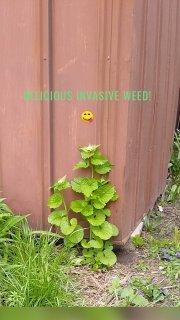 Delicious invasive Weed! 😋