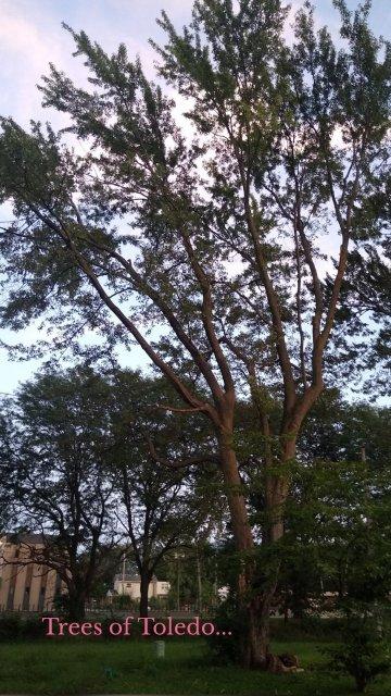 Trees of Toledo...